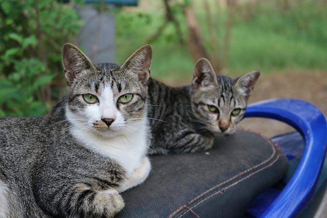 ריגל לחתולים