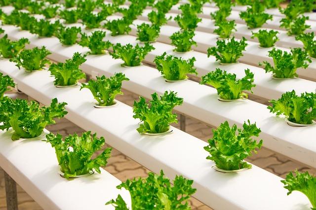 גידול ירקות הידרופוני